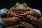 bullfrog_count-800x533